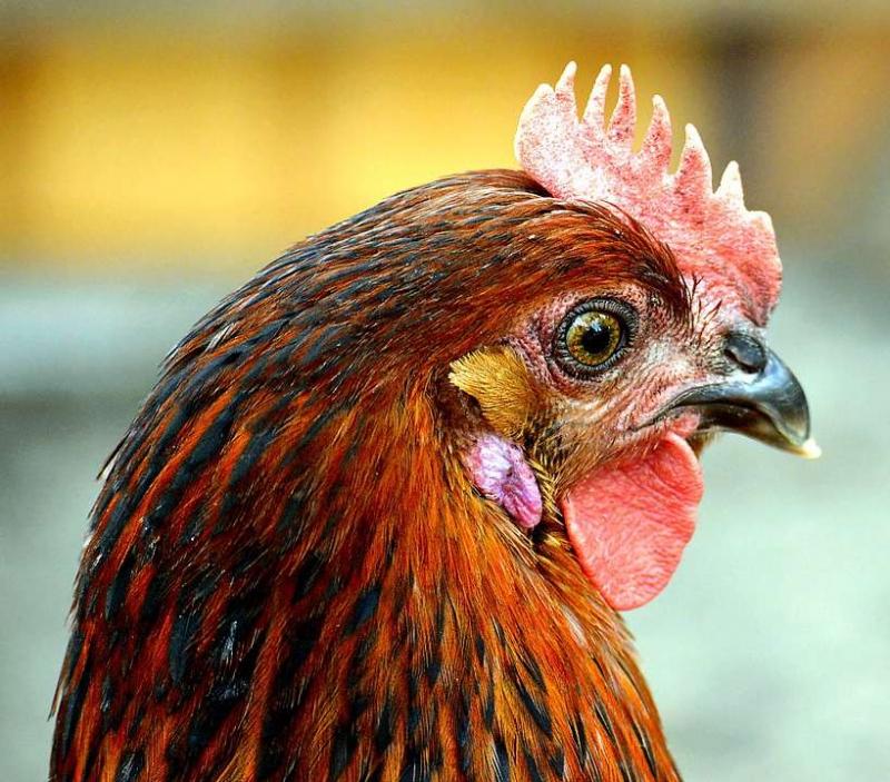 小鸡仔会不会有禽流感禽流感怎么传播的